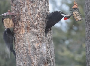 So good even a Pileated will bend over backward for it! Photo by Mary Loney Bigfork, MT
