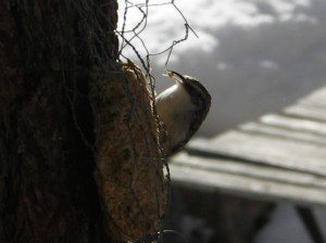 Brown Creeper has a taste. Photo by Malakai Lawrence Baker City, Oregon