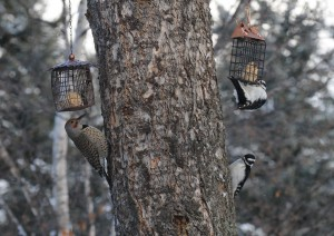 Northern Flicker and Hairy Woodpeckers. Photo: Mary Loney Bigfork, MT